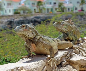 Leguane-Curacao.jpg