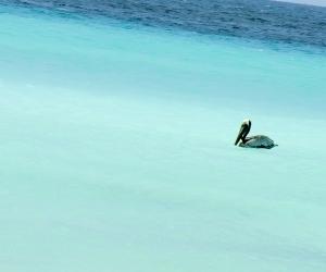 Pelikan_klein-Curacao.jpg